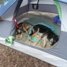 camping-with-doggies