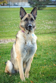 German Shepherd Rescue of the Rockies - Athena