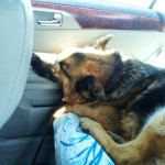 German Shepherd Rescue of the Rockies - Gunni