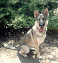 German Shepherd Rescue of the Rockies - Nina