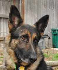 German Shepherd Rescue of the Rockies - Rudi