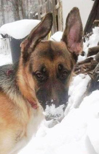 German Shepherd Rescue of the Rockies - Sawyer