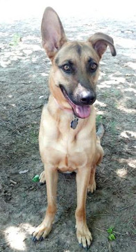 German Shepherd Rescue of the Rockies - Shiloh