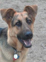 German Shepherd Rescue of the Rockies - Chewie