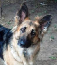 German Shepherd Rescue of the Rockies - Haylie