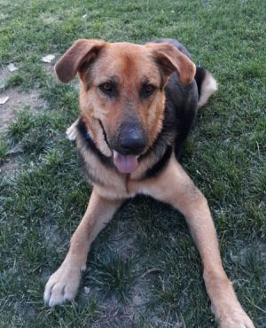 German Shepherd Rescue of the Rockies - Rico