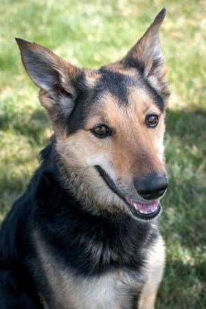 German Shepherd Rescue of the Rockies - Shiva
