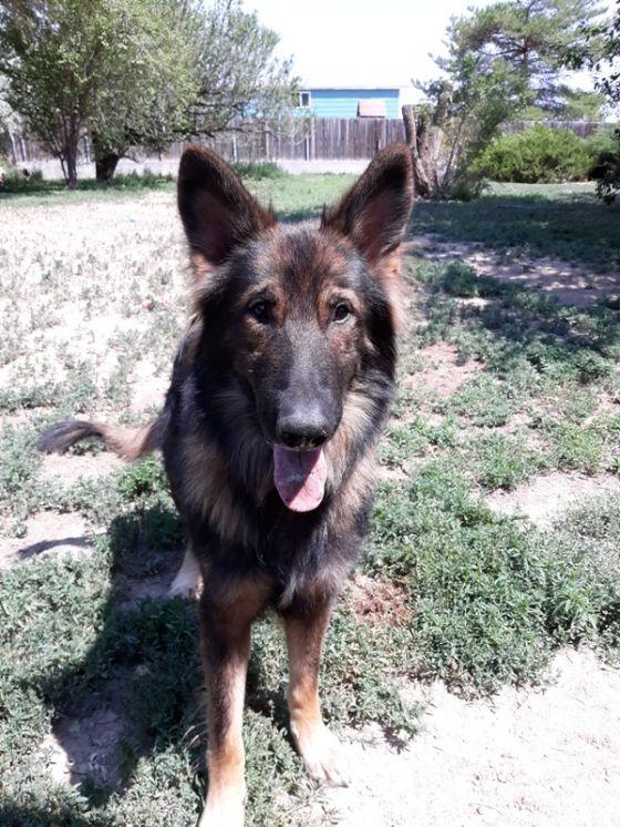 German Shepherd Rescue of the Rockies - Toby